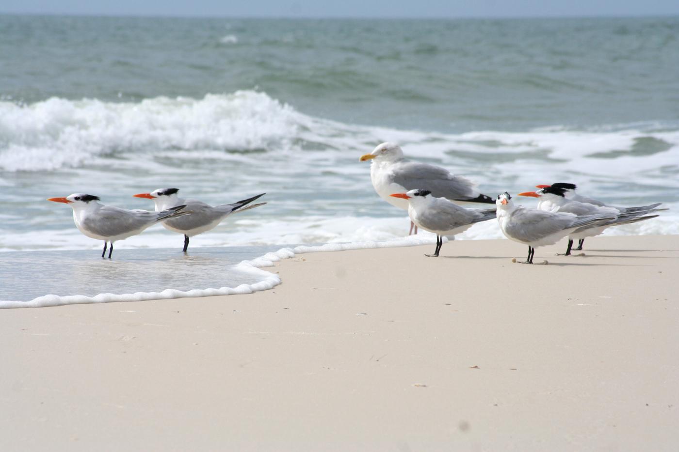 Beach Birds Florida Sea Birds st Joe Beach