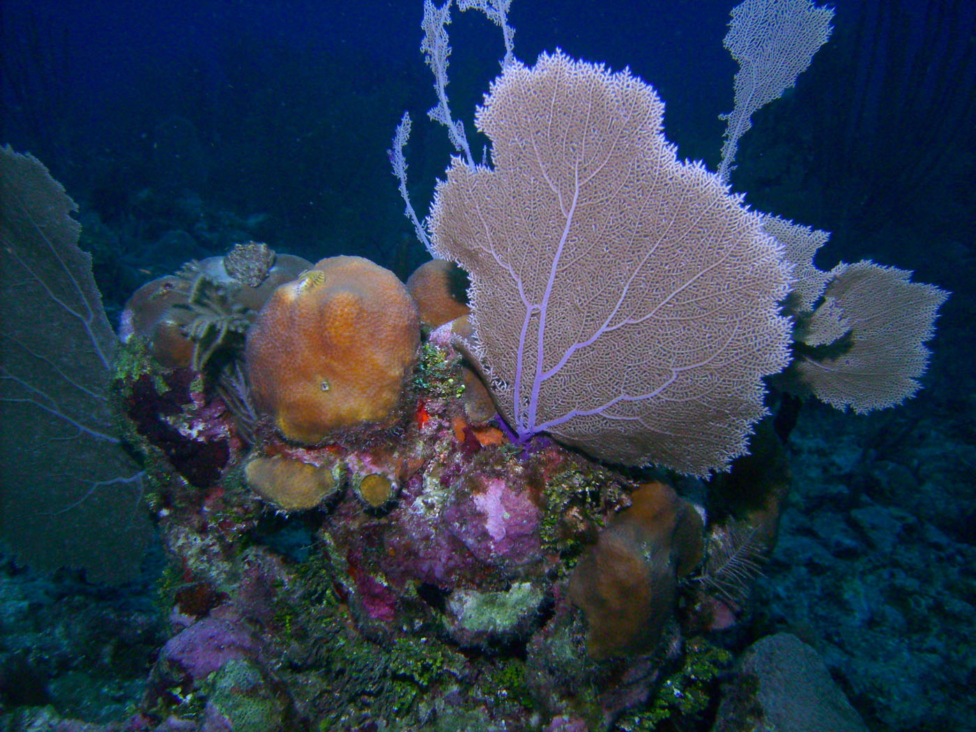 Sea fans and coral