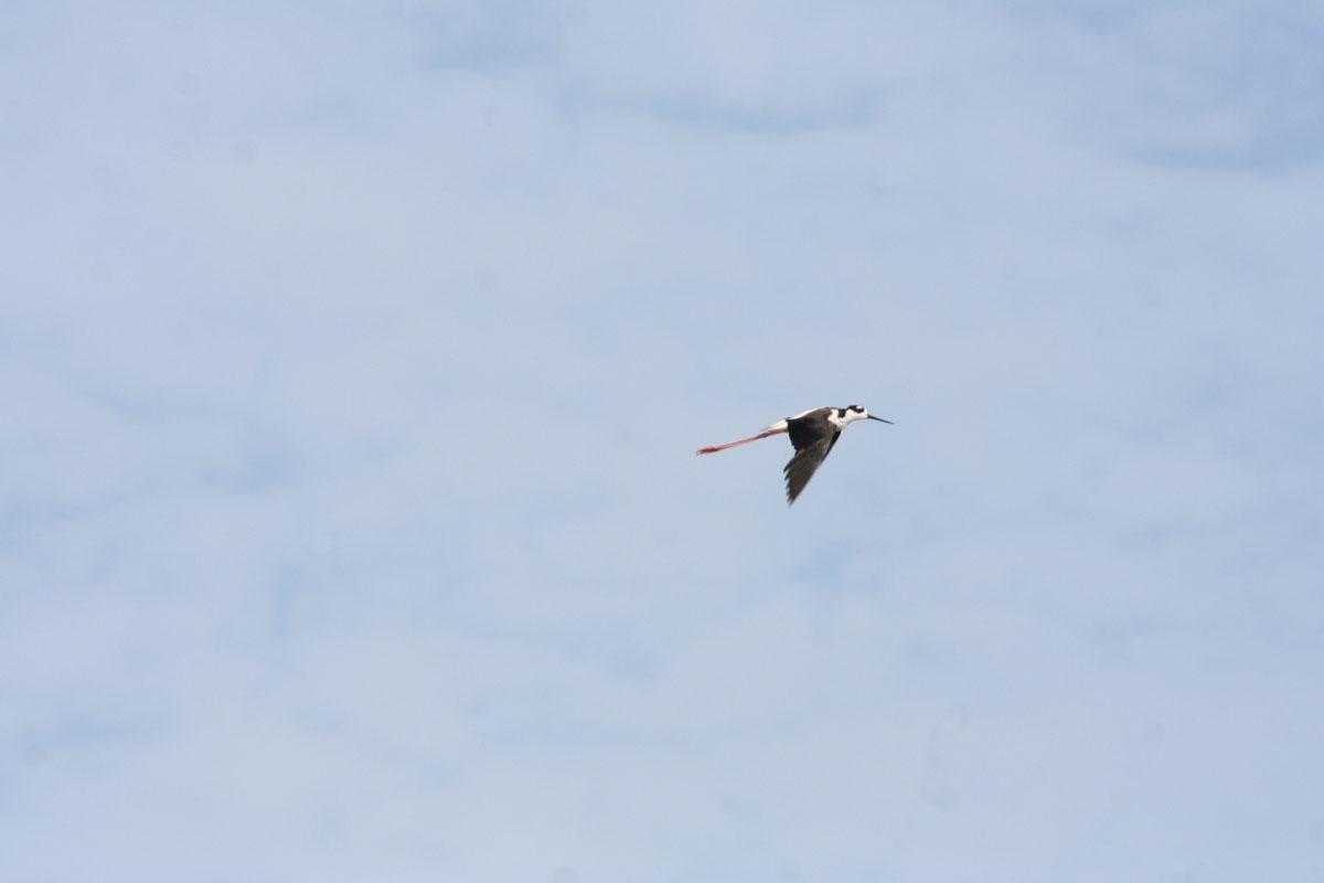 description aerial flying birds - photo #40