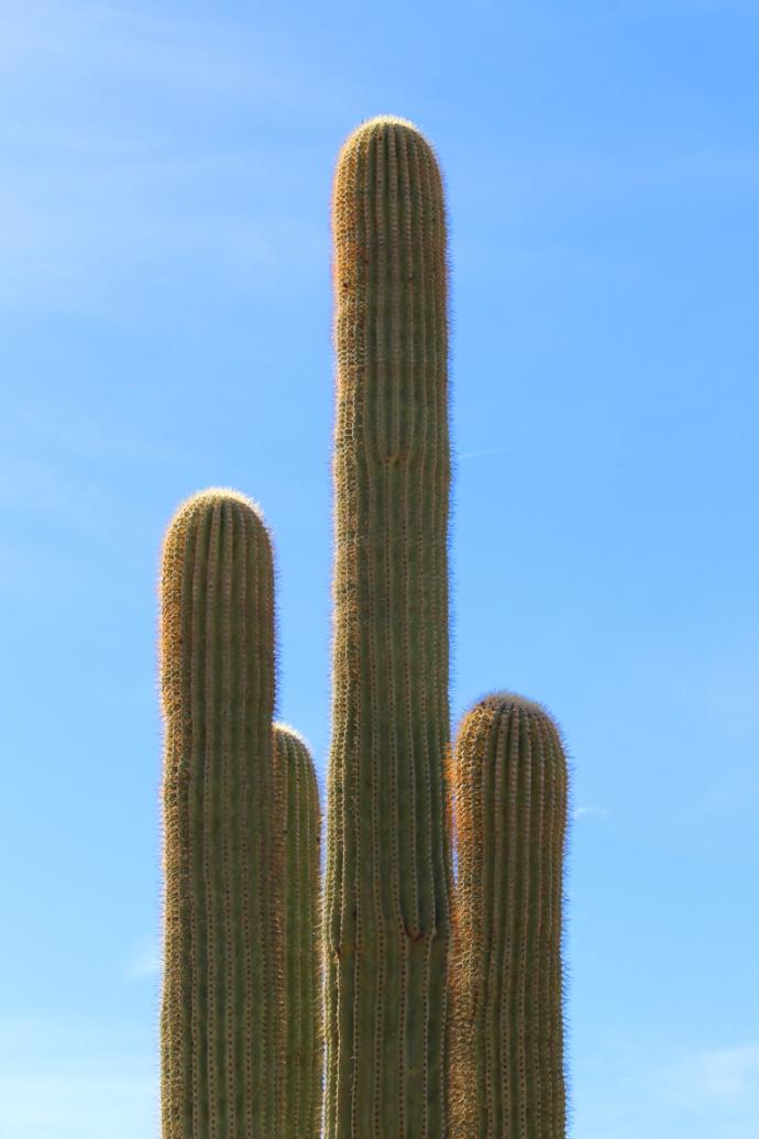 AZ, Phoenix cactus top