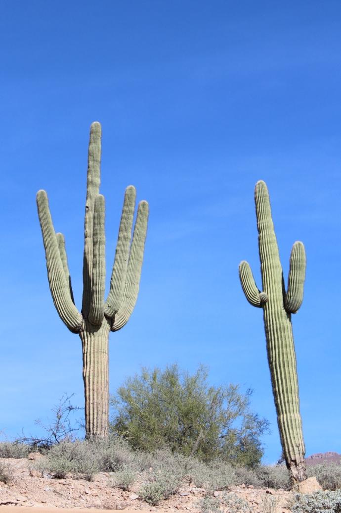 AZ, Phoenix, two cactus