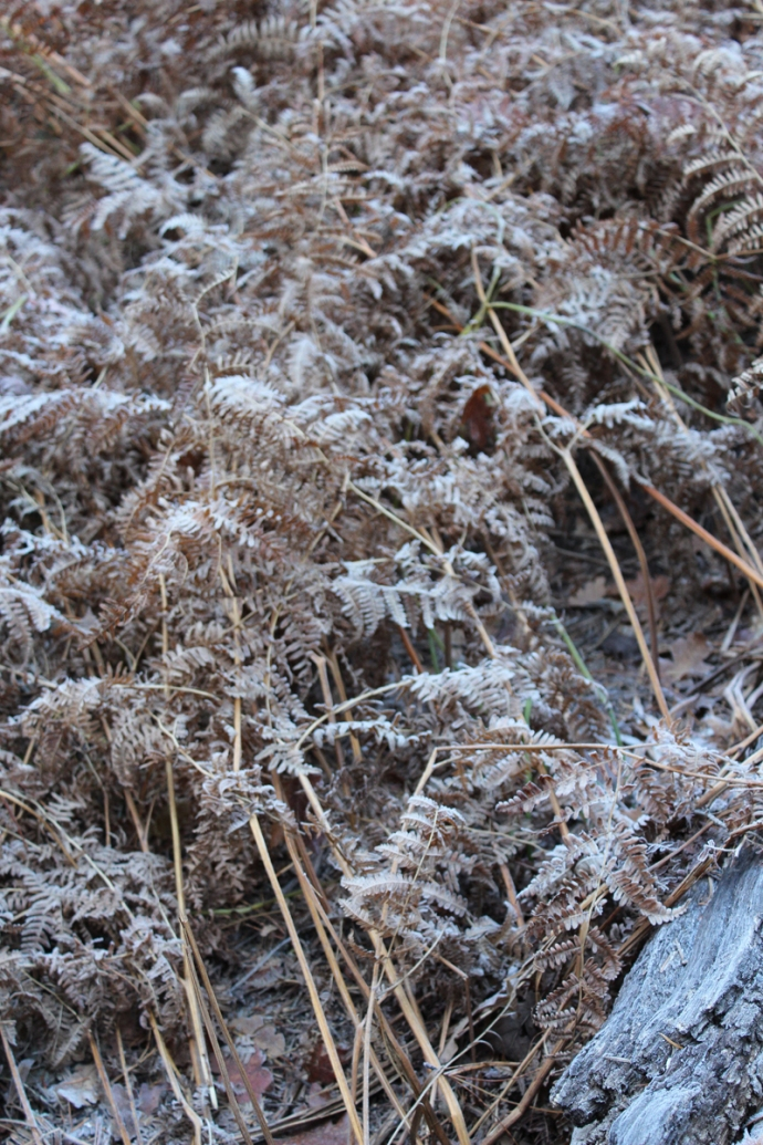 AZ, Sedona West Fork frosty fern