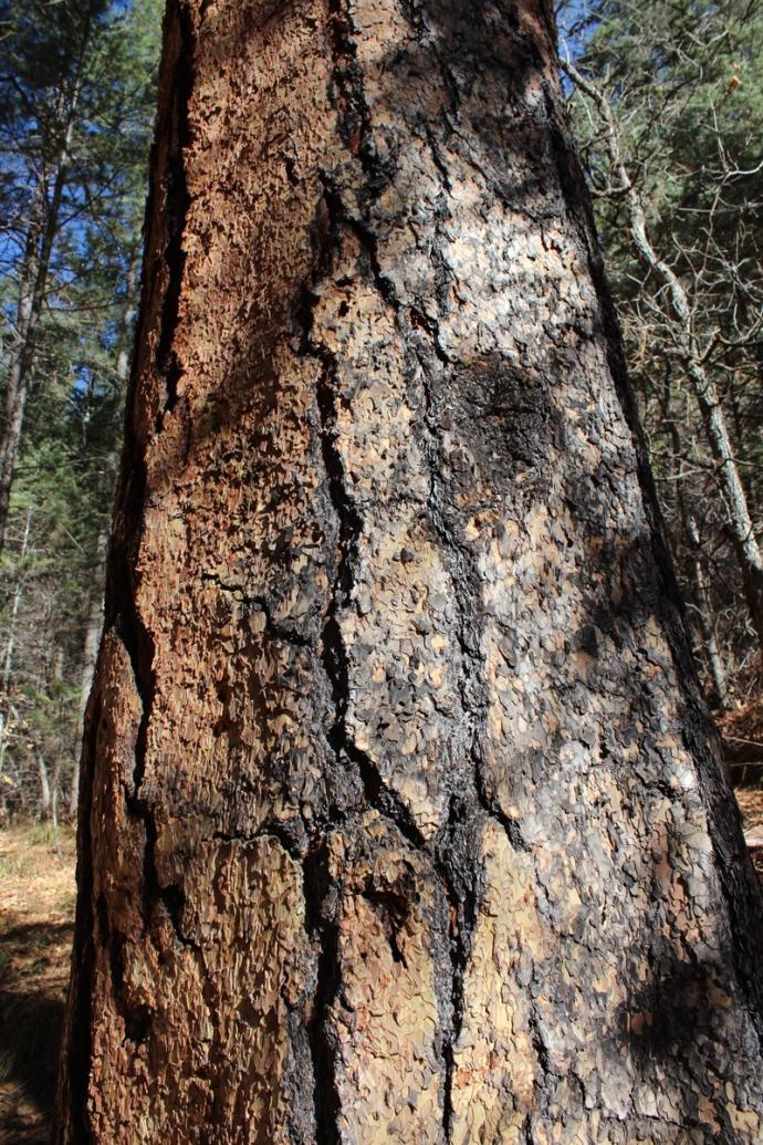 AZ, Sedona West Fork pine bark