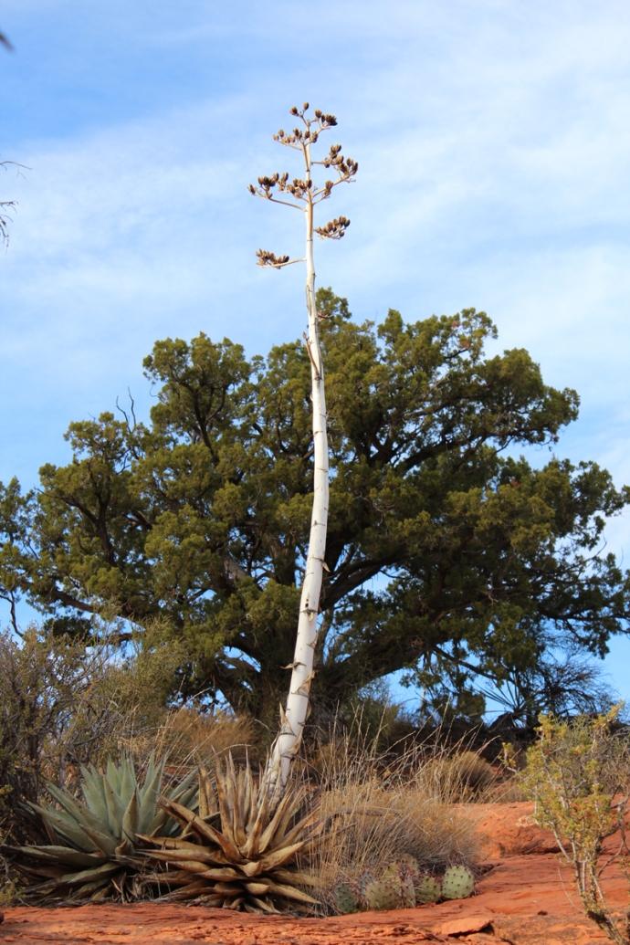 AZ, yucca stalk