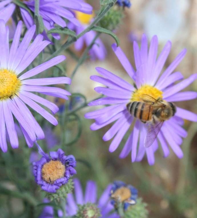 bee on aster 2