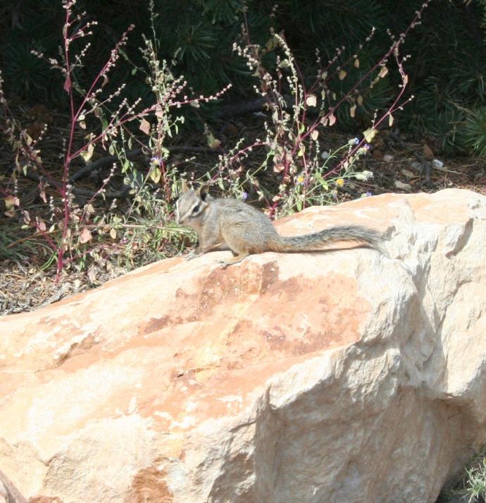 chipmunk at Lookout, Gc