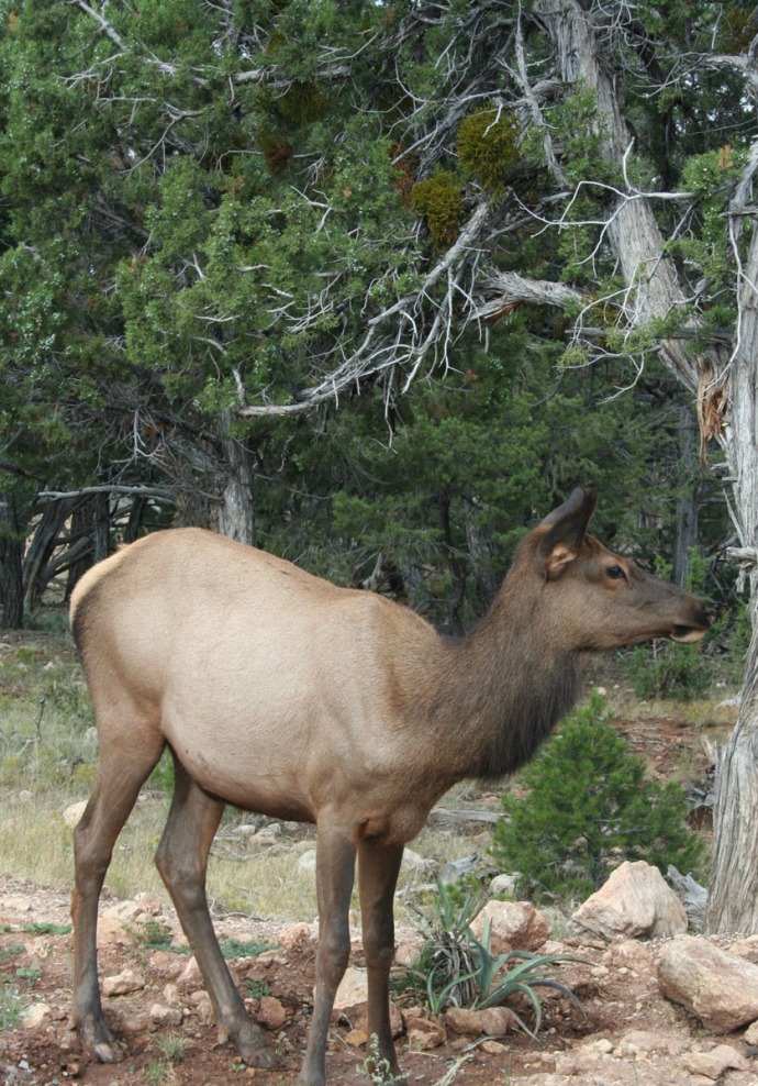 elk, young looking sideways