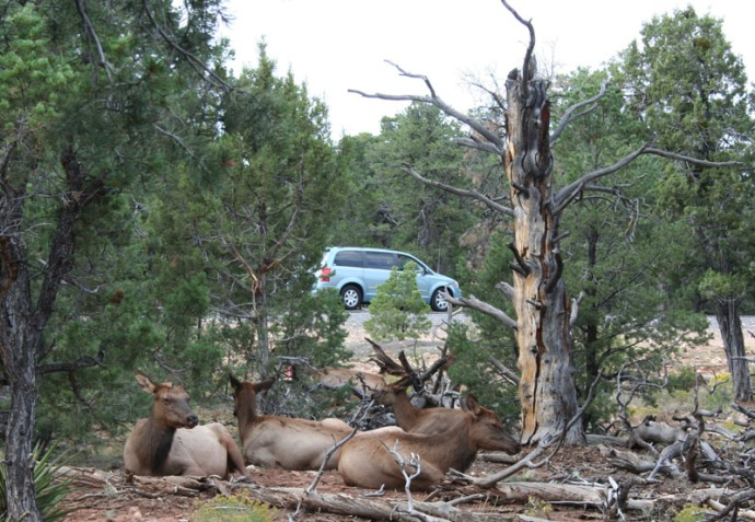 elks lying with car passing