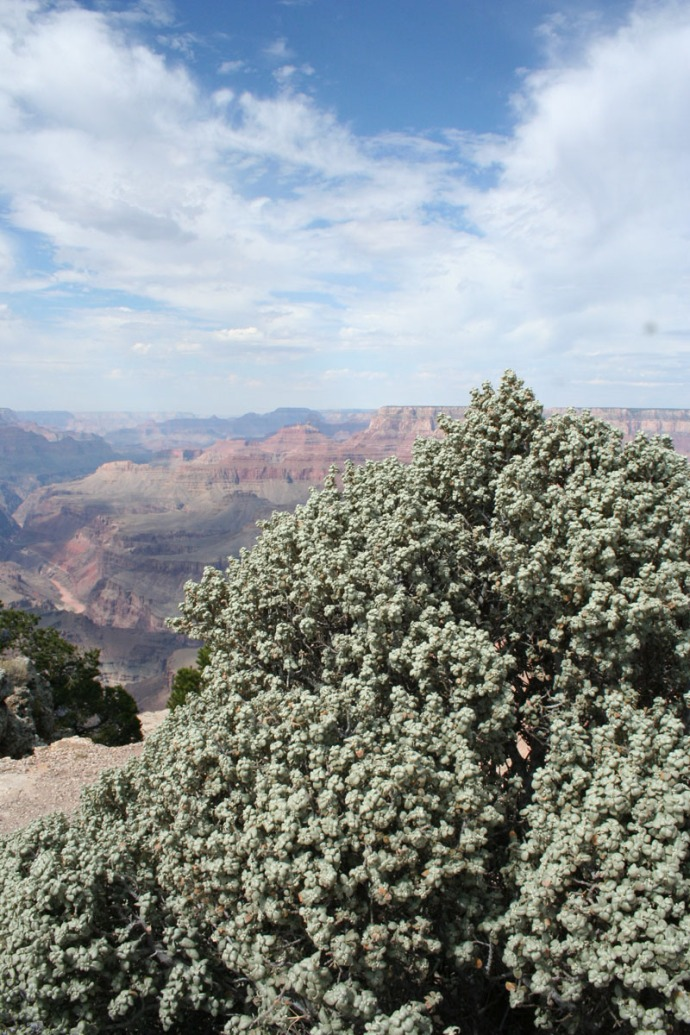 grand canyon, vert, shrub
