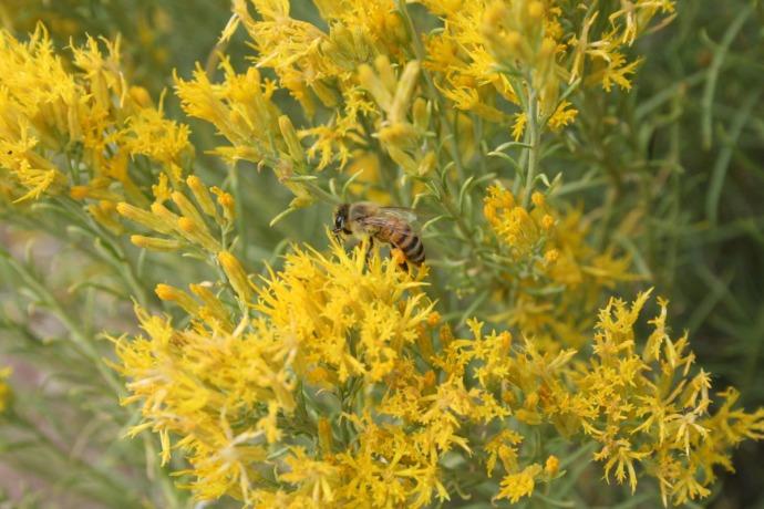 honeybee on yellow flwer, gc