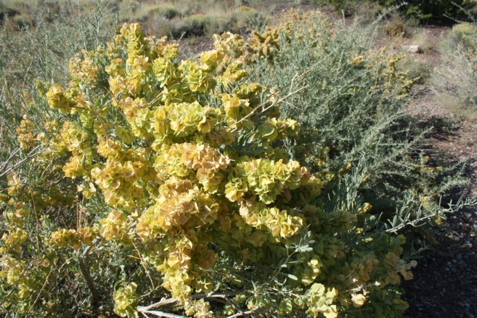 puffy blooming bush