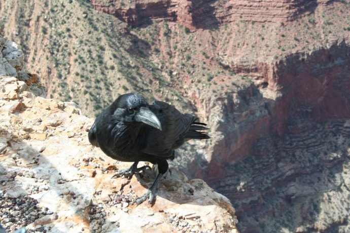 raven closeup