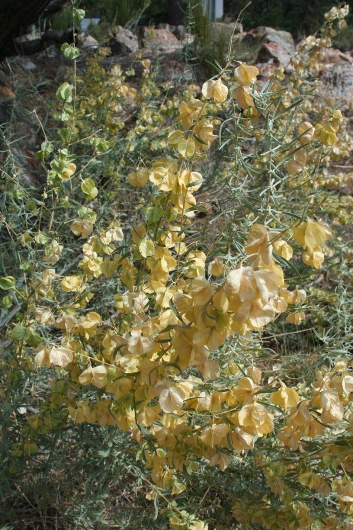 tusayan yellow bloom