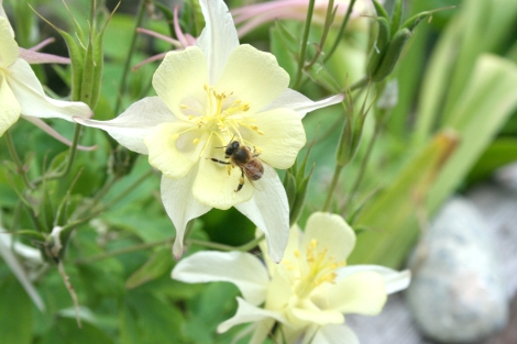 bee on yell columbine