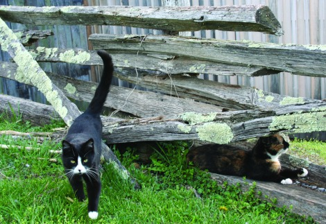 cats at White's Mill, Abing, VA