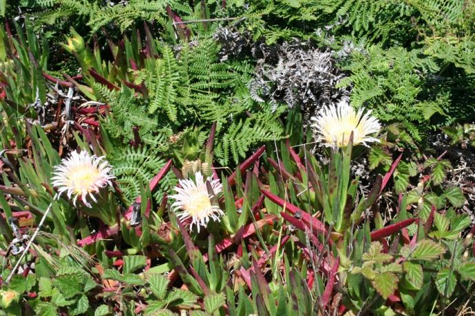 Glass Bch-cream ice plant, fern
