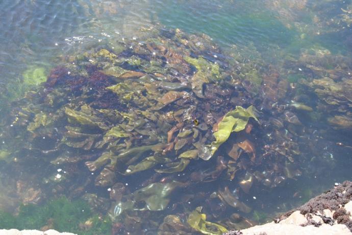 Glass Bch-kelp under water
