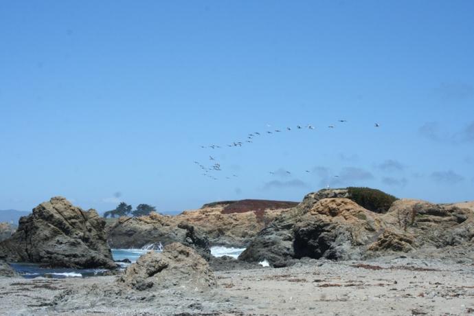 Glass Bch-pelicans going up coast