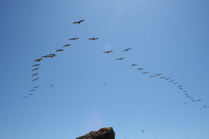 Glass Bch-pelicans v