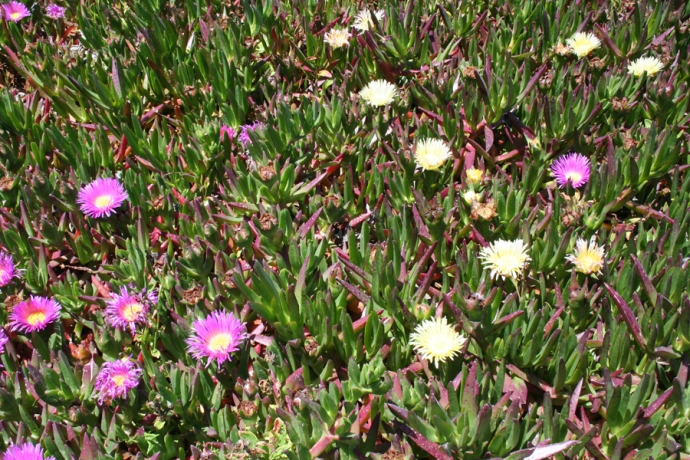 Glass Bch-pink & cream ice plants