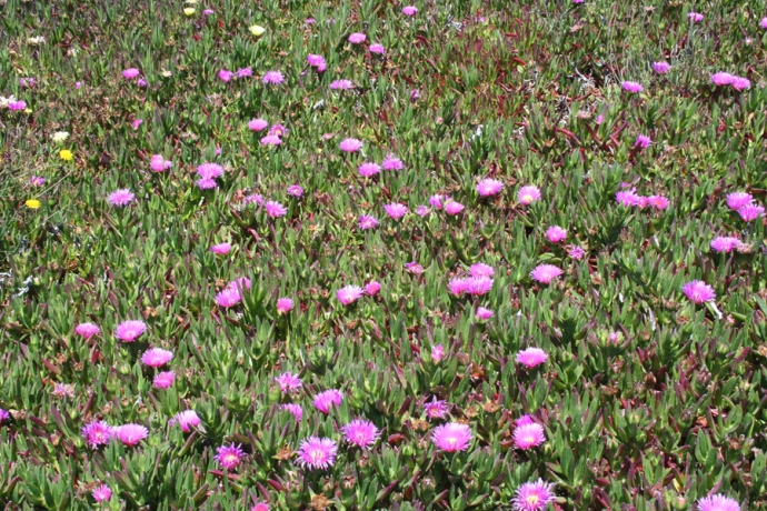 glass bch-pink ice plants 2