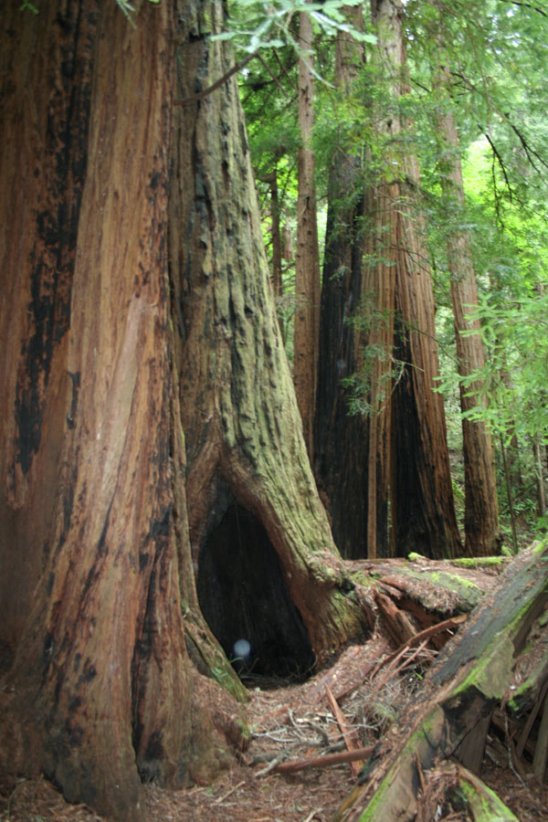 hollow in redwood base