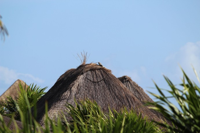 Iguana on Palapa top