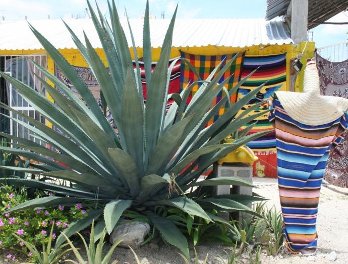medicine plant, serape