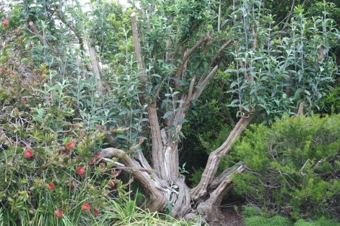 Mendo-butterfly bush-tree