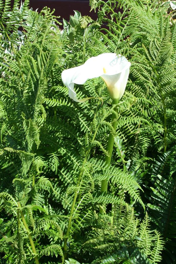 Mendo-calla lily, ferns
