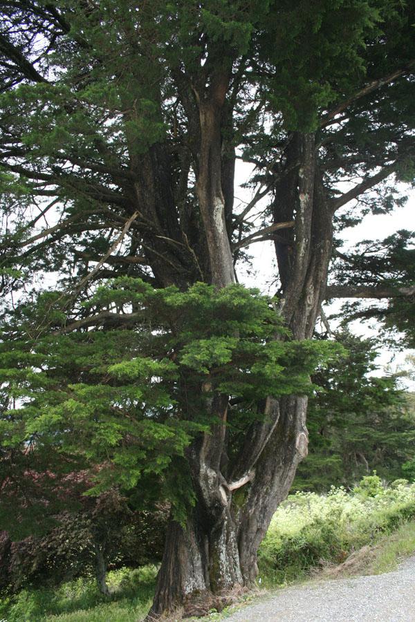 Monterey? pine, Tamalpais Mtn