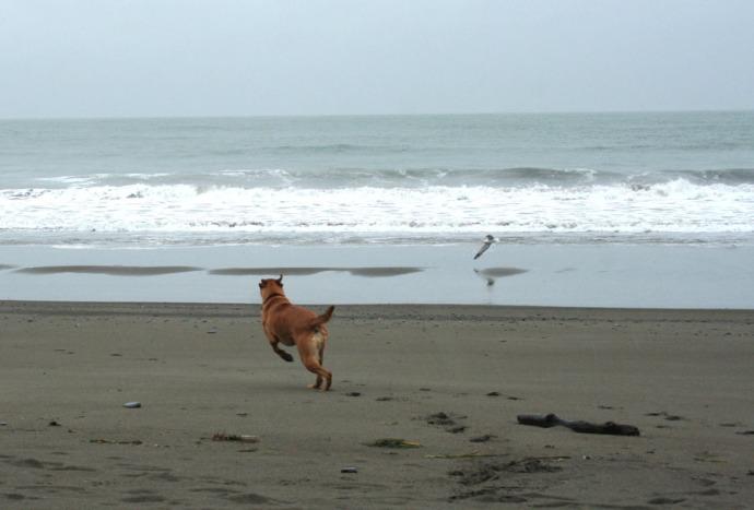 Muir, bch dog playing