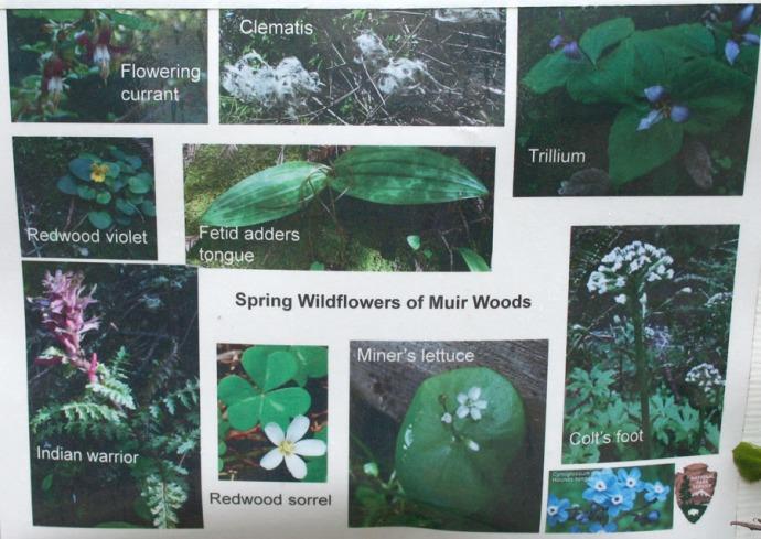 Muir woods wildflower chart