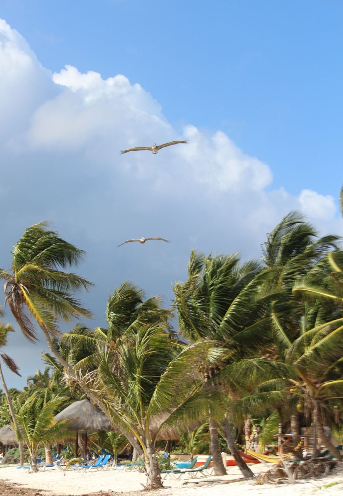 Pelicans over beach