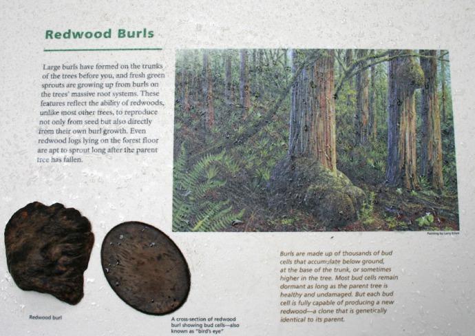 redwood burl placque