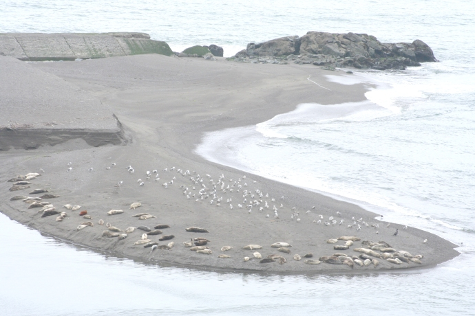 Seals & birds, Russian River mouth