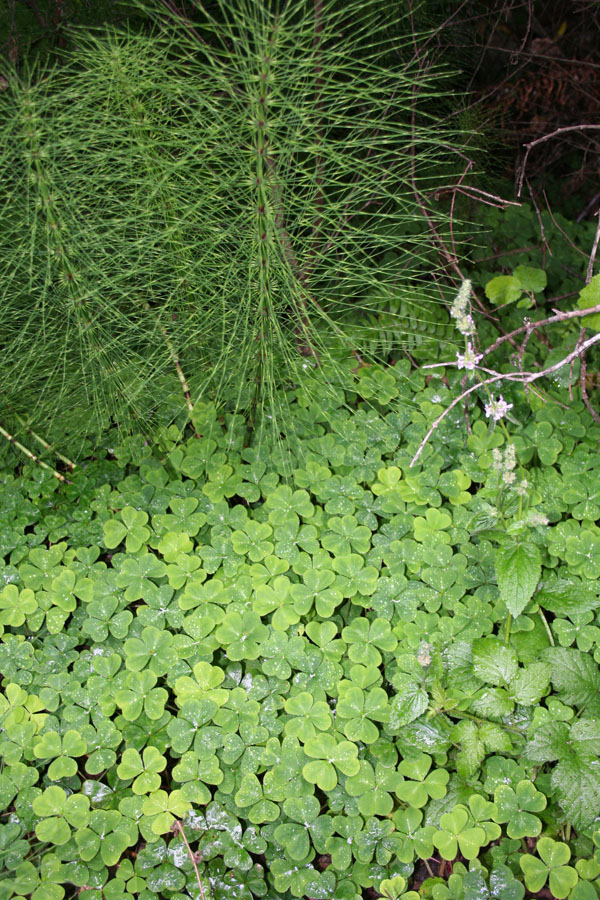 sorrel and horsetail
