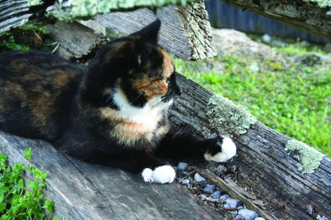 tortie cat at Whites Mill, Ab, VA
