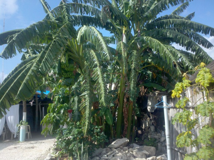 Tulum banana trees in yard