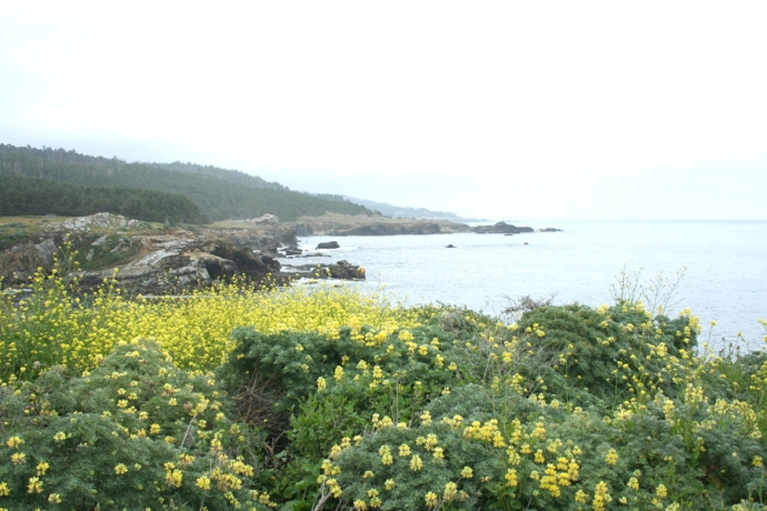 U.S. 1, yellow lupines on coast