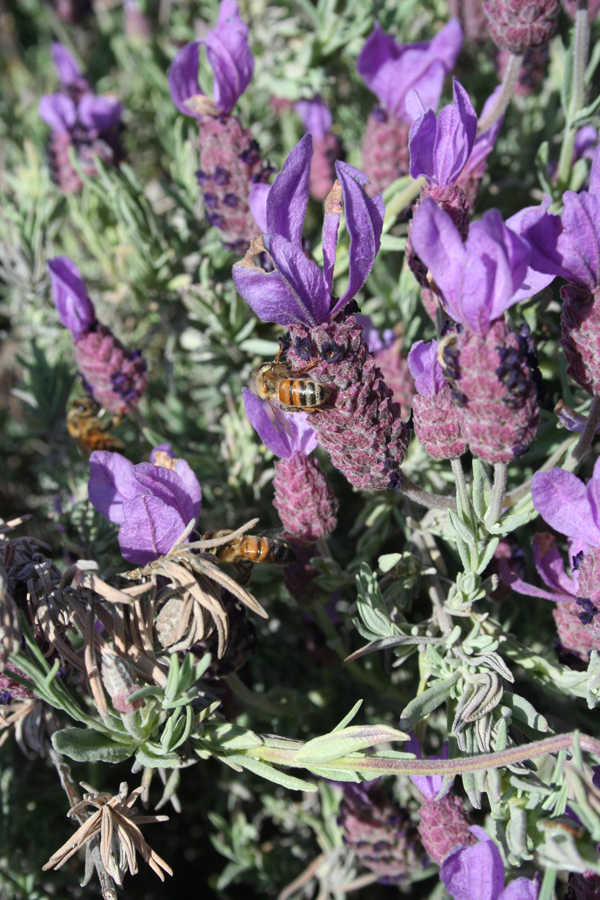 Yose, bees on lavender