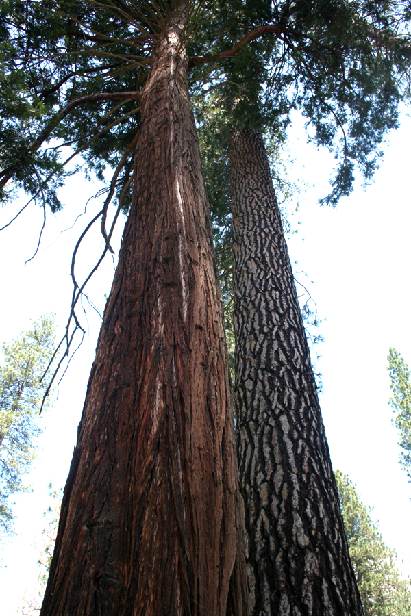 Yose-Giants, Redwood & Ponderosa PIne