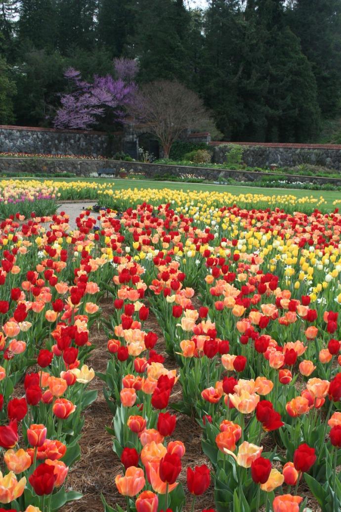 Biltmore red tulips vert