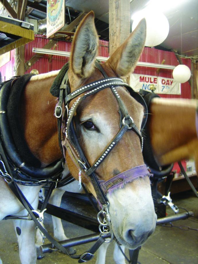 Charleston mule face