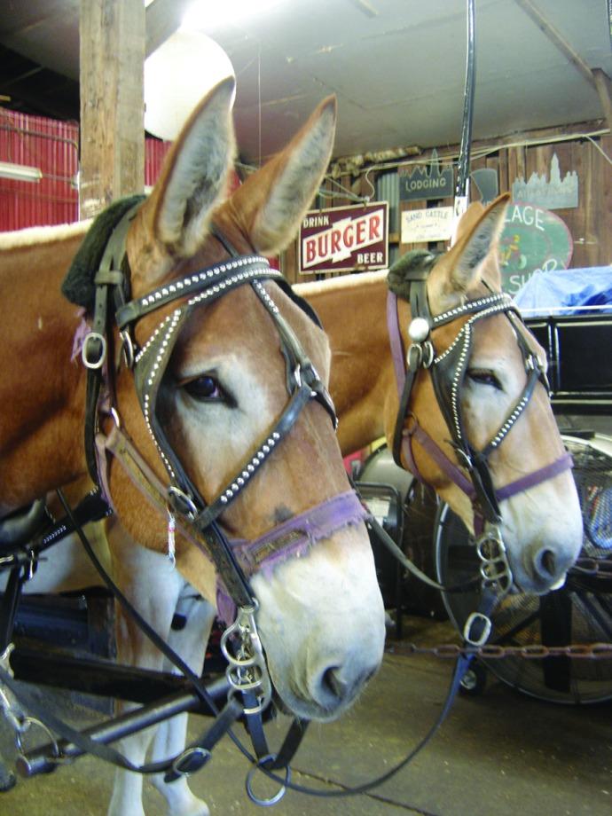 Charleston mules