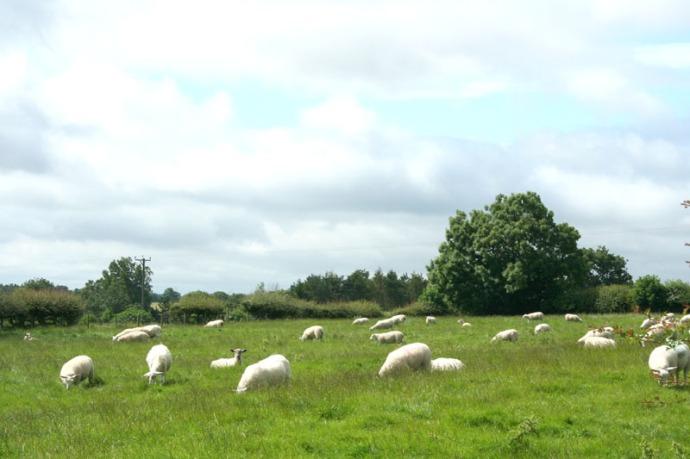 eng- good sheep hori