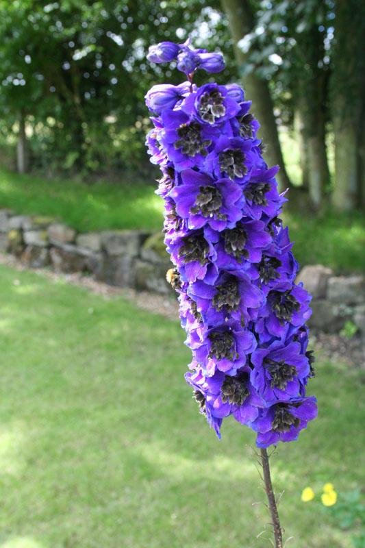 eng- larkspur flower
