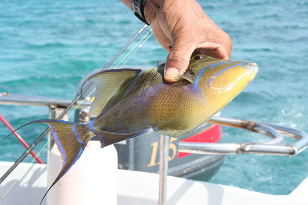 Belize trigger fish