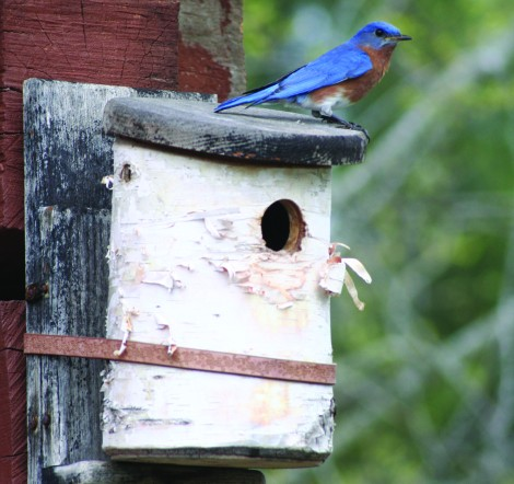 bluebird on birch house