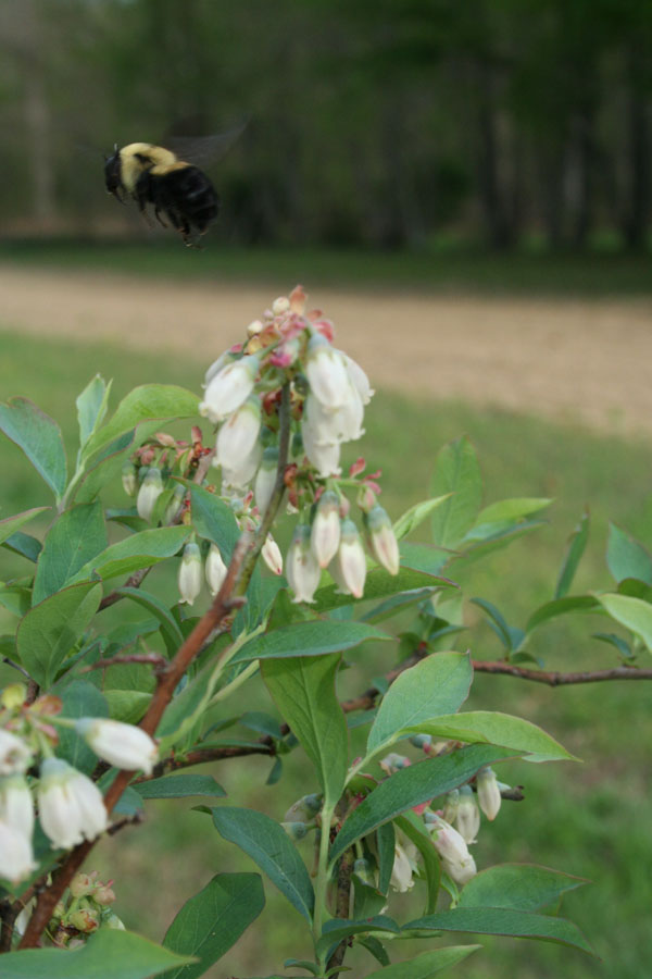 bumble flying, blueberry